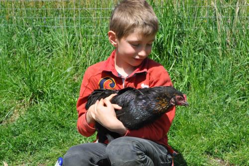 animali-nella-fattoria-gallina