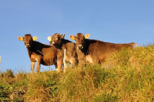 animali-nella-fattoria-vitelli